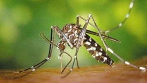 9097-Genetski-modifikovani-komarci-pusteni-u-prirodu